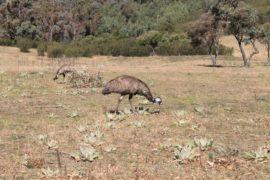 Tidbinbilla Tour - Emus