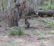 Tidbinbilla Tour - Wallaby