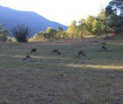 Tidbinbilla Tour - Kangaroos Grazing